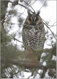 Long-eared Owl 13