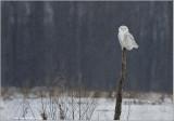 Snowy Owl on a Post 43