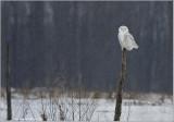 Snowy Owl on a Post 44