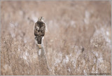 Red-tailed Hawk Hunting  217