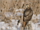 Red-tailed Hawk Hunting 219