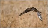 Red-tailed Hawk in Flight  220