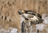 Red-tailed Hawk 223