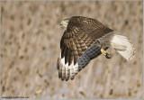Red-tailed Hawk in Flight  225