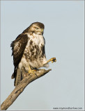 Red-tailed Hawk dropped its Coffee 227