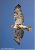 Red-tailed Hawk in Flight 230