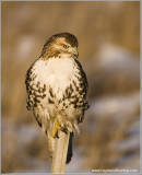 Red-tailed Hawk Hunting 232