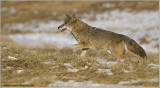 Coyote Hunting