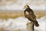 Red-tailed Hawk Hunting 234