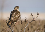 Red-tailed Hawk Hunting 235