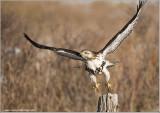 Red-tailed Hawk in Flight 236