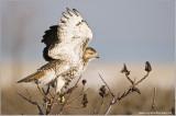 Red-tailed Hawk in Flight 237