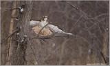 Red-tailed Hawk in Flight 238