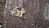 Red-tailed Hawk in Flight 239