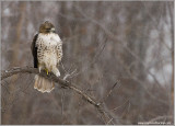 Red-tailed Hawk Hunting 241