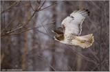 Red-tailed Hawk in Flight 242