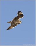 Short-eared Owl in Flight 60