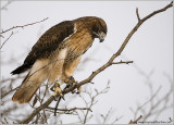 Gorons Red-tailed