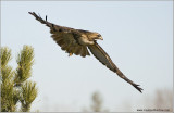 Red-tailed Hawk Lift Off  2