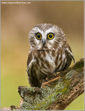 Saw-whet Owl ... Captive (re-edit)