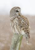 Barred Owl    Re-edit 11