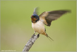 Barn Swallow Shaking off the Water
