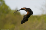 Harris Hawk Hunting   (Captive)