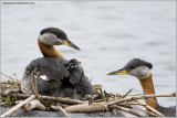 Red-necked Grebes 53