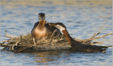 Red-necked Grebe with chick! 51