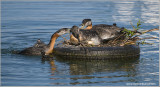 Red-necked Grebes Defending their Nest! 50