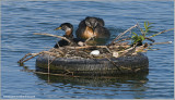Red-necked Grebe with an Intruders Egg! 49