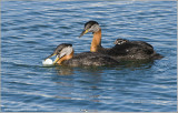 Red-necked Grebe ready to dump the un-welcome Egg! 48