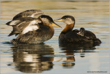 Red-necked Grebes 47