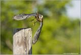 American Kestrel  (captive)