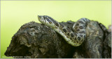 Western Hog-nosed Snake  (captive)