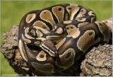 Royal Python  (captive)