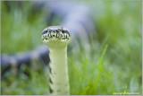 Irian Jaya Carpet Python  (captive)