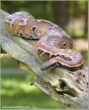 Red Blood Python  (captive)