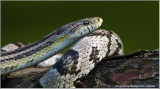 Corn Snake  (captive)