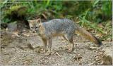 Costa Rica Fox