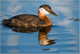 DSC_8674 Red-necked Grebe.jpg