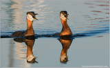 DSC_8751 Red-necked Grebes.jpg