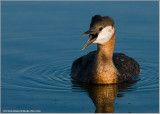 DSC_8779 Red-necked Grebe.jpg