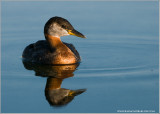 DSC_8801 Red-necked Grebe.jpg