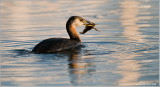 DSC_8868 Red-necked Grebe with Crayfish.jpg