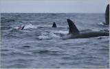 Newfoundland Orca pod take down a Minke Whale!