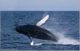 Newfoundland Humpback Whale