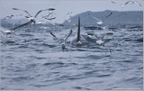 Orca chased by Gulls