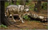 Timber Wolf   (captive)