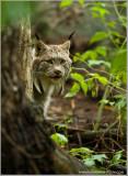 Adult Lynx   (captive)